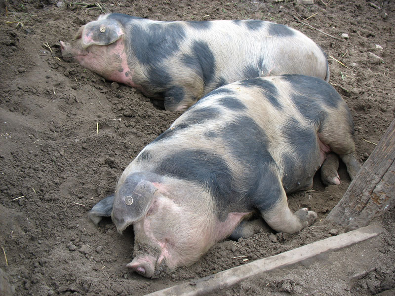 Alles Schweine?