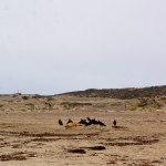 Geier an Seelöwen