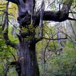 Imposanter Kastanienbaum