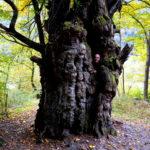 Riesen Kastanienbaum