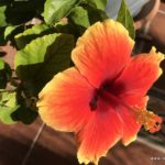 Hibiscus rot-gelb